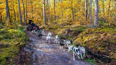 Balade en chiens de traineau dans la forêt de Fontainebleau (77)
